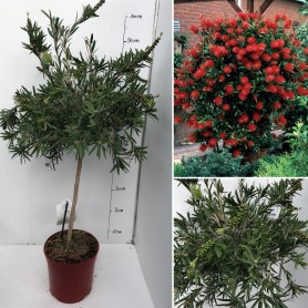 Callistemon Citrinus Pot rouge IT