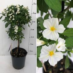 Solanum rantonetti blanc sur tige 12,95€
