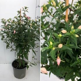 Fuchsia Pied Mère 12.95€