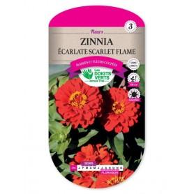 Zinnia écarlate Scarlet Flame