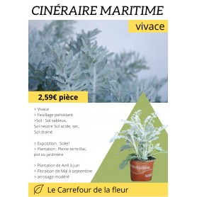 Cinéraire maritime 2,59€