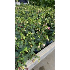 Fuchsia rose claire 2.99€ pièce