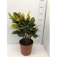 Croton multicolore 24,95€