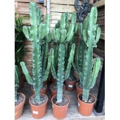Euphorbe cactus 49,95€