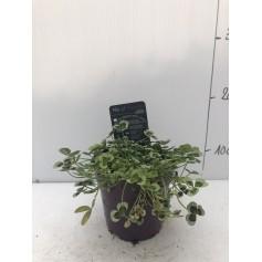 Trèfle noir rampant 2,99€ Trifolium