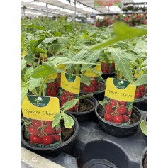 Plant de Tomate Agora 1,45€
