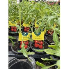 Plant de Tomate fleurette 1,45€
