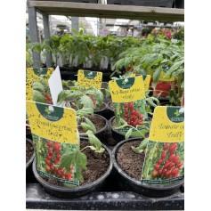 Plant de Tomate cerise Trilly 1,45€