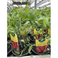 Plant de Tomate Bellandine 1,45€
