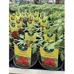 Plant de Tomate Montfavet 1,45€