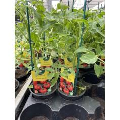 Plant de Tomate Fournaise 1,45€