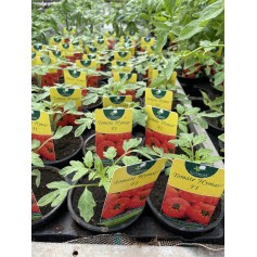 Plant de Tomate Hymar F1  1,45€