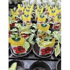 Plant de Tomate Grapellina 1,45€