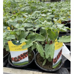 Plant de Tomate Cerise Cookie 1,45€