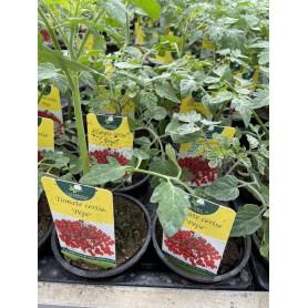 Plant de Tomate Cerise Pépé 1,45€