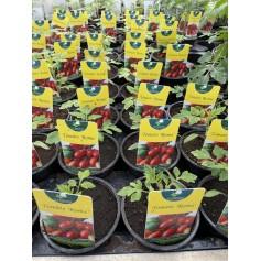 Plants de Tomate Roma 1.45€