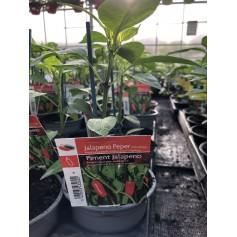 Plants de Piment Jalapeno 1,45€