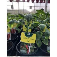 Plants Poivron corne red 1,45€