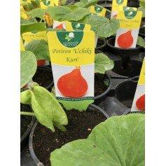 Plants de Potiron Uchiki Kuri 1.45€