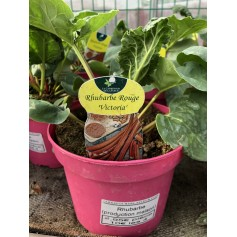 Plants Rhubarbe rouge Victoria production 2,95€