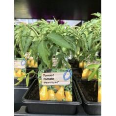 Plants de Tomate jaune 1,45€