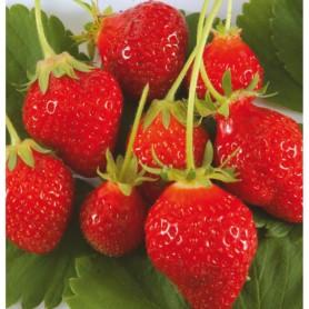 Plant de fraise