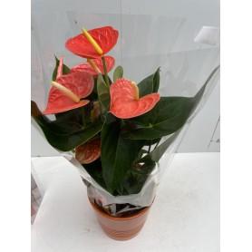 Anthurium rouge avec emballage et vase en verre