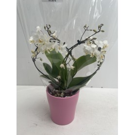Orchidée en forme de coeur + son pot 19.95€