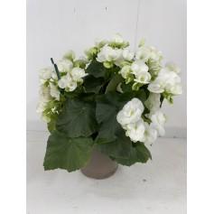 Begonia  7.95