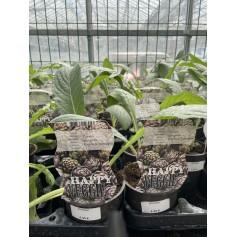 plant d'Artichaut à  4,95€