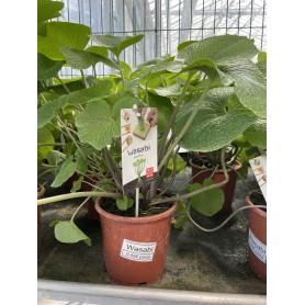 Plant de Wasabi à 9,95€