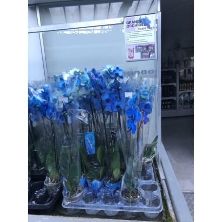 Orchidée bleue 2 tiges 19,95€