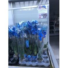 Promotion Orchidée bleue
