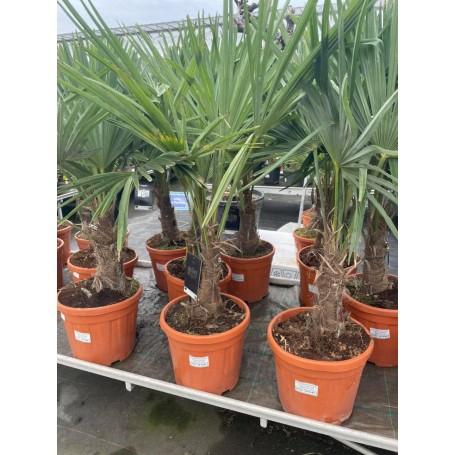 Trachycarpus 49.95€