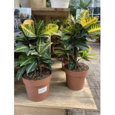 Croton 8,95€