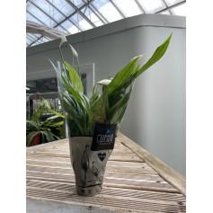 Mini spatiphyllum 1,49€