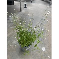 Silene Blanche Pot 19 / 4.95€