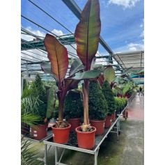 Bananier Palm Ensete Maurelii