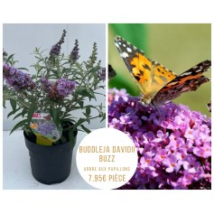 Buddleja Davidii Buzz - Arbre aux papillons 7,95€