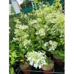 Hydrangea paniculata Pandria 12,95€
