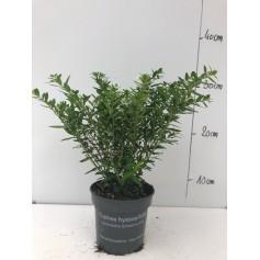 Cuphea blanc 1.95€ pièce 3+1