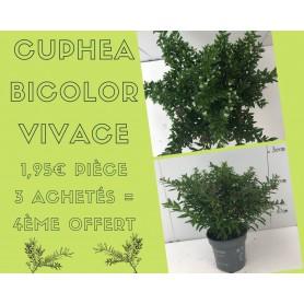 Cuphea bicolor 1.95€ pièce 3+1