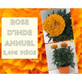 Rose d'Inde jaune 2,49€ pièce