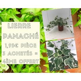 Petit Lierre panaché 1,95€ pièce 3+1