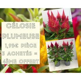 Célosie plumeuse 1,95€ pièce 3+1