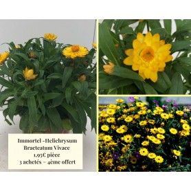 Immortel - Helichrysum Bracteatum 1,95€ pièce 3+1
