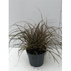 Carex Uncinia everflame 3,95€ pièce 12€ les 3