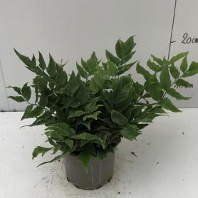 Cyrtomium falcatum - Fougère persistante  1,95€ 3+1