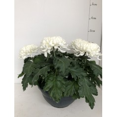 Coupe de Têtes Chrysanthèmes blanche