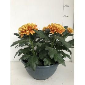 Coupe de Chrysanthèmes 5 têtes Orange